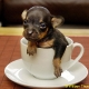 Doggy in Teacup